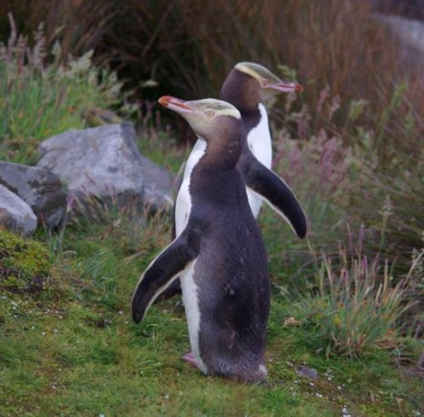 A pair of yellow-eyed penguins on Ruapuke Island., December 2012. Image: Colin Miskelly