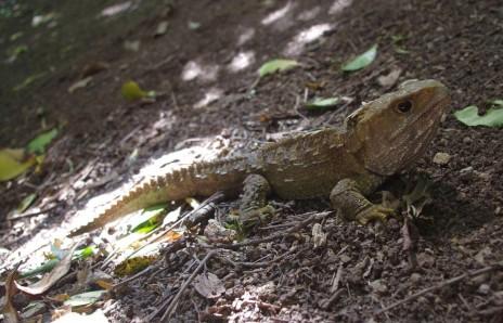 Tuatara (Sphenodon punctatus) on Titi Island. Image: Colin Miskelly, Te Papa