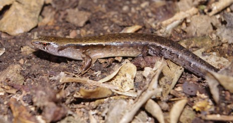 Aorangi skink, Aorangi Island, Poor Knights Islands Nature Reserve. Image: Colin Miskelly, Te Papa