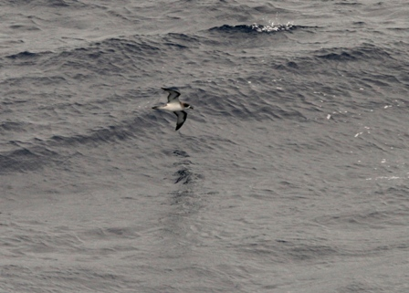 Barau's Petrel one day south of Reunion Island. Image: Julian Collet, © Julian Collet