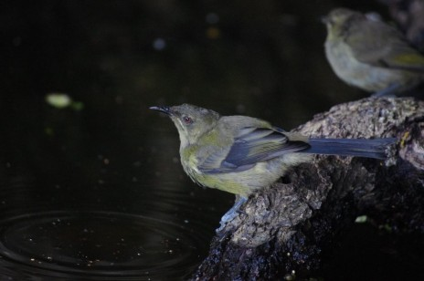 Female bellbird, Aorangi Island, Poor Knights Islands Nature Reserve. Image: Colin Miskelly, Te Papa