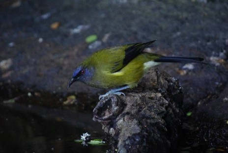 Male bellbird, Aorangi Island, Poor Knights Islands Nature Reserve. Image: Colin Miskelly, Te Papa