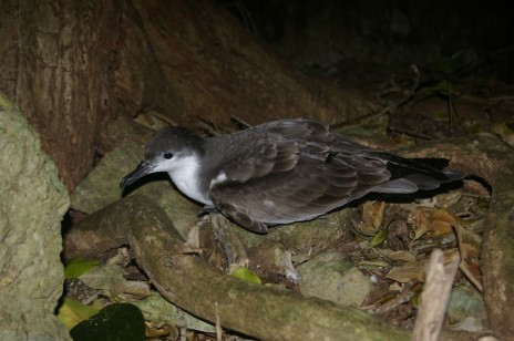 Buller's shearwater, Aorangi Island, Poor Knights Islands Nature Reserve. Image: Colin Miskelly, Te Papa