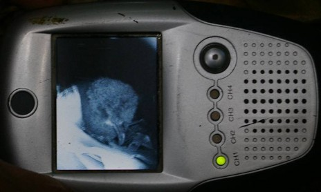 Buller's shearwater chick inside its burrow, viewed through a burrowscope. Image: Colin Miskelly, Te Papa