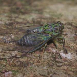 Adult clapping cicada (Amphipsalta cingulata), Aorangi Island, Poor Knights Islands Nature Reserve. Image: Colin Miskelly, Te Papa