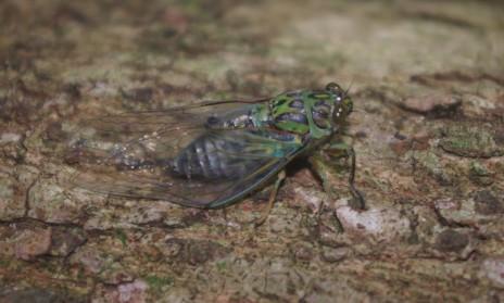 Adult clapping cicada (Amphipsalta cingulata), Aorangi Island, Poor Knights Islands Nature Reserve. Image: Colin Miskelly, Te Papa