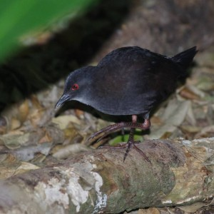 Juvenile spotless crake, Aorangi Island, Poor Knights Islands Nature Reserve. Image: Colin Miskelly, Te Papa
