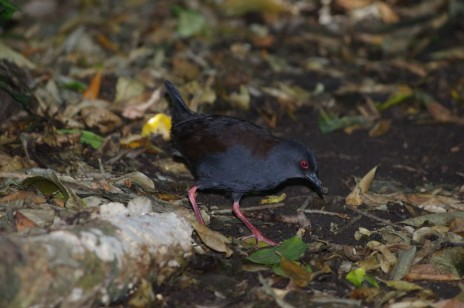 Adult spotless crake, Aorangi Island, Poor Knights Islands Nature Reserve. Image: Colin Miskelly, Te Papa