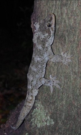 Duvaucel's gecko, Aorangi Island, Poor Knights Islands Nature Reserve. Image: Colin Miskelly, Te Papa