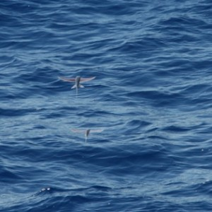 Flying fish in the waters of 29 deg S. Image: Julian Collet, © Julian