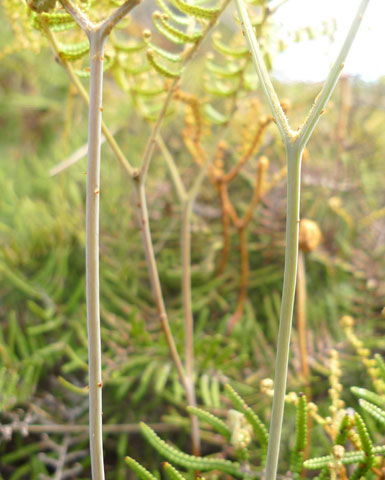 Except when very young, the lower stems of Gleichenia inclusisora are usually naked of scales or hairs, in contrast to the other Gleichenia species in New Zealand. Photo Leon Perrie. © Te Papa.