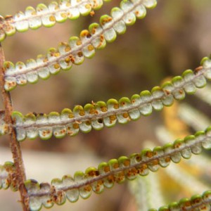 Frond underside of Gleichenia inclusisora. The white and flattish frond segments are one of its distinctive features. The undersides of the frond segments of Gleichenia dicarpa are whitish but pouched, while those of Gleichenia microphylla are flat but green. Photo Leon Perrie. © Te Papa