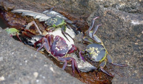 Purple rock crabs (Leptograpsus variegatus) scavenge the corpse of a Buller's shearwater, Aorangi Island, Poor Knights Islands Nature Reserve. Image: Colin Miskelly, Te Papa