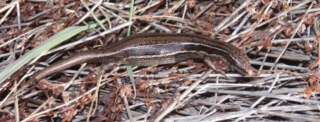 Moko skink, Aorangi Island, Poor Knights Islands Nature Reserve. Image: Colin Miskelly, Te Papa