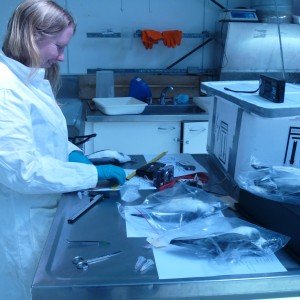 Te Papa seabird scientist Sarah Jamieson measures defrosted prions from the 2011 wreck