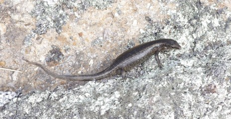 Shore skink, Aorangi Island, Poor Knights Islands Nature Reserve. Image: Colin Miskelly, Te Papa