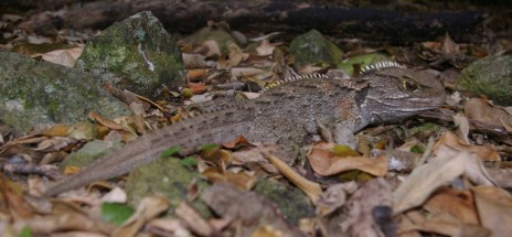 Tuatara, Aorangi Island, Poor Knights Islands Nature Reserve. Image: Colin Miskelly, Te Papa