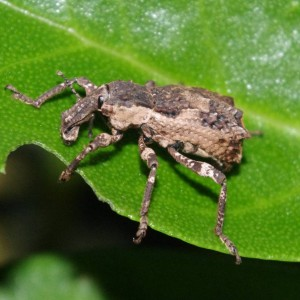 Turbott's weevil (Anagotus turbotti) on ngaio, Aorangi Island, Poor Knights Islands Nature Reserve. Image: Colin Miskelly, Te Papa