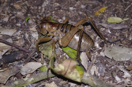 A female Poor Knights giant weta laying eggs on the forest floor. Note the position of her long ovipositor (egg-laying appendage) compared to the previous photograph. Image: Colin Miskelly, Te Papa