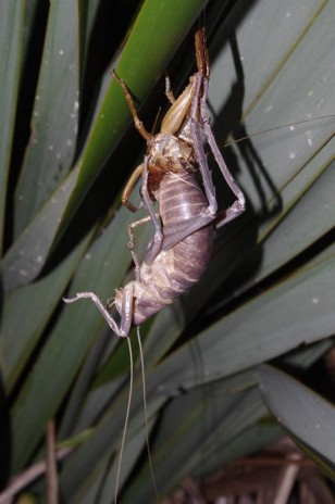 Female Poor Knights giant weta moulting, Aorangi Island, Poor Knights Islands Nature Reserve. Image: Colin Miskelly, Te Papa