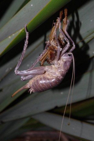 A freshly moulted Poor Knights giant weta consumes its old exoskeleton. Image: Colin Miskelly, Te Papa