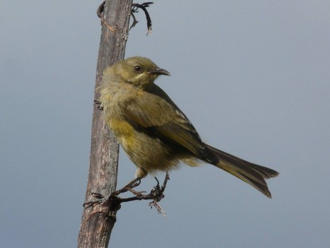 Fig. 6. Bellbirds are the most common land birds on Burgess Island. Photo Alan Tennyson, Te Papa