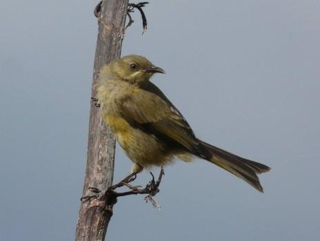 Fig. 6. Bellbirds are the most common land birds on Burgess Island. Photo Alan Tennyson, Te Papa