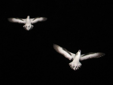 Fig. 5. Black-winged petrels displaying over Burgess Island at night. . Photo Alan Tennyson, Te Papa