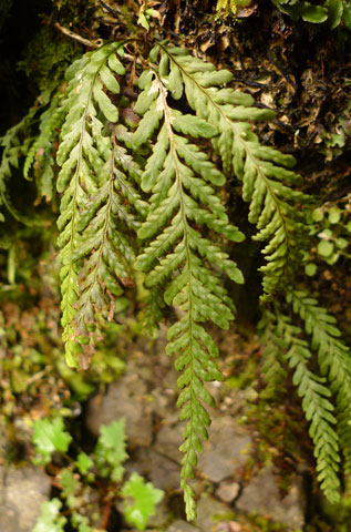 Comb fern, Notogrammitis heterophylla, previously known as Ctenopteris heterophylla. Photo Leon Perrie. (c) Te Papa.