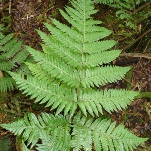 The mystery New Caledonian fern that looks remarkably like a Dryopteris.