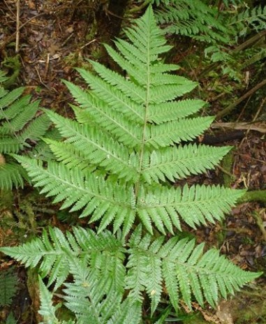 The mystery New Caledonian fern that looks remarkably like a Dryopteris. Photo credit: Leon Perrie