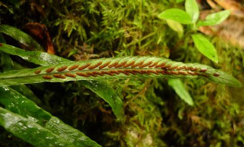 Reproductive structures on the frond underside of Notogrammitis billardierei. Photo Leon Perrie. (c) Te Papa.