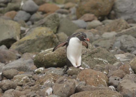 Rockhopper penguin Eudyptes chrysochome hops between rocks. Image: Susan Waugh, © Te Papa.