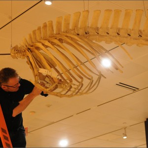 Installation shots of Whales:Giants of the Deep, on at the American Museum of Natural History in New York