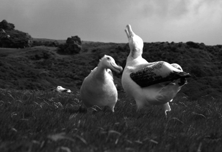 Young wandering albatrosses Diomedea exulans display at the Crozet Islands. Image: Susan Waugh, © Te Papa.