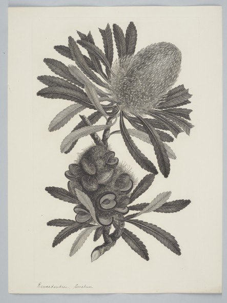 Banksia serrata Linnaeus f. 1895, United Kingdom. Parkinson, Sydney. Purchased 1895. Te Papa. Depicts Banksia serrata, from the Australian genus named after Joseph Banks.