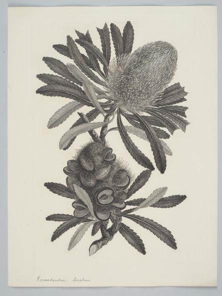 Banksia serrata Linnaeus f. 1895, United Kingdom. Parkinson, Sydney. Purchased 1895. Te Papa. Depicts Banksia serrata, from the Australian genus named after Joseph Banks.