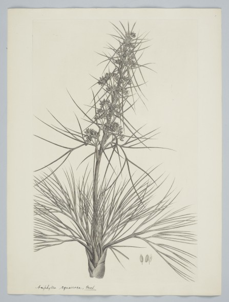 Aciphylla squarrosa Forster & G. Forster, 1895, United Kingdom. Parkinson, Sydney. Purchased 1895. Te Papa. Depicts a New Zealand species, found from coastal to montane environs.