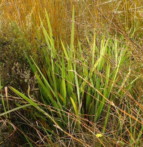 A few plants of the aristea iris (Aristea ecklonii) were found in the Koitiata sand dunes. The species is already a menace in Northland, and hopefully it doesn't become as abundant in the southern North Island. Photo © Leon Perrie.