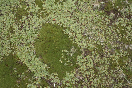 Azorella selago and Leptinella plumosa. Photo: Susan Waugh, Courtesy of Susan Waugh.