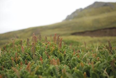Fern Blechnum penna-marina forming mats with moss. Photo: Susan Waugh, Courtesy of Susan Waugh.