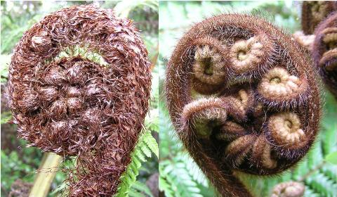 There are two major groups of tree ferns in New Zealand: Cyathea tree ferns are scaly, whereas Dicksonia tree ferns are hairy. Photos Leon Perrie, © Te Papa.