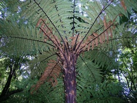 Dicksonia squarrosa, whekï. A hairy tree fern. Photo Leon Perrie. © Leon Perrie.