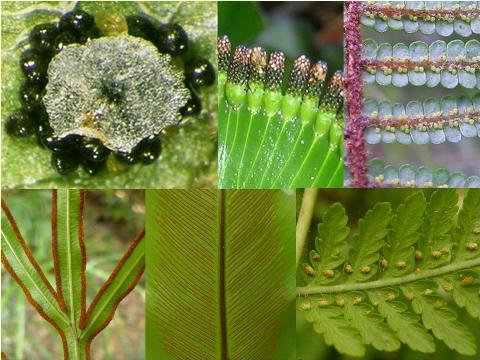 Different groups of ferns are characterised by their reproductive structures, which can come in many forms. Clockwise from top left: 1) Polystichum; shield ferns. The reproductive structures are aggregated into round patches. Each of the black spheres is a sporangium (plural = sporangia), the capsule that produces the spores (in Polystichum, there are 64 spores in each sporangium). A distinct cluster of sporangia is called a sorus (plural = sori). In many ferns the sori are partially covered by protective tissues, called indusia (singular = indusium). In Polystichum, the indusia are round, giving rise to the common name of shield fern for this group. 2) Cardiomanes; kidney fern. The sori occur on the margins and arise from tubular indusia. 3) Gleichenia; tangle ferns. Two or three sporangia (the yellowish dots) occur on the underside of each frond segment. 4) Hypolepis; pig ferns. The sori are on the margin of the frond and are partially protected by the inrolled margin of the frond. 5) Asplenium; spleenwort ferns. The sori occur in lines away from the margin, and are arranged in a 'herring bone' pattern. 6) Pteris. The sori line the margins of the frond. Photos Leon Perrie, montage © Te Papa.