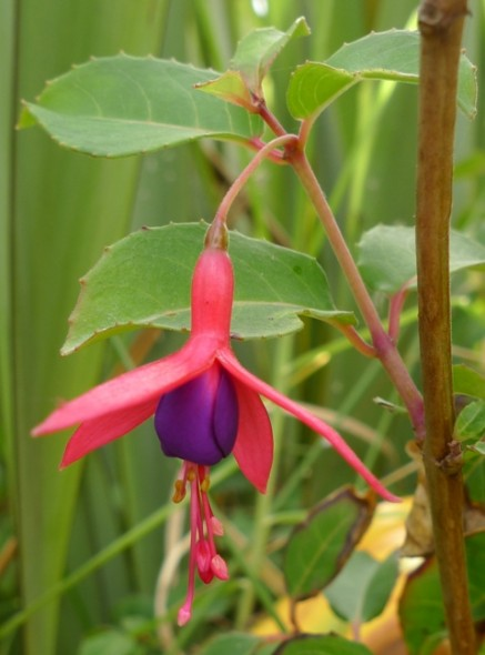 An exotic Fuchsia in the sand dunes at Koitiata, near Turakina. Just one or two plants were seen. Does anyone know what species/cultivar of Fuchsia this is? Photo © Leon Perrie.