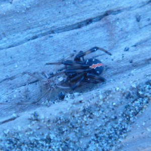 Taking a break from botanizing Viv McGlynn managed to locate this female Katipo spider under a piece of driftwood in the dunes.