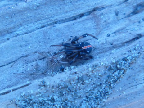 During a break from botanizing Viv McGlynn located this Katipo spider under a piece of driftwood in the dunes. Photo: Lara Shepherd