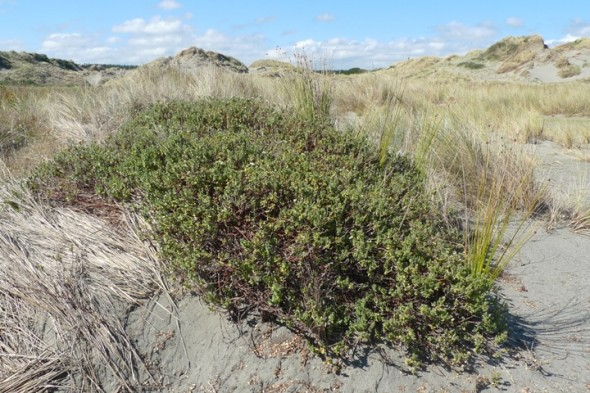 The dunes are also home to larger plants. This is the sand daphne (Pimelea villosa). It has a conservation status of Declining because of ongoing damage to sand dunes and apparent seed-set failure. Photo © Leon Perrie.