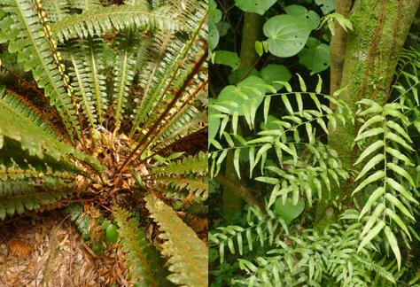 Blechnum discolor, crown fern, has tufted fronds. Right: In Arthropteris tenella, the fronds arise at intervals along a creeping rhizome; several creeping rhizomes can be seen as brown lines up the tree trunk. Photos Leon Perrie, montage © Te Papa.