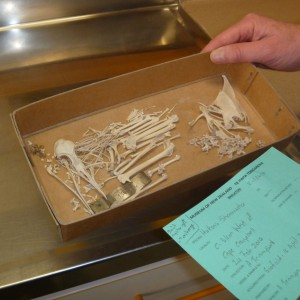Alan with a shearwater skeleton prepared by Catherine.
